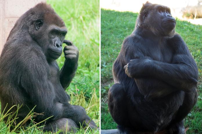 010517_gorillas_zoo