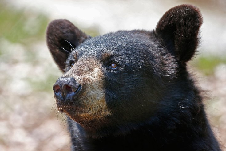 N J  hunter admits staging scene of illegal bear kill