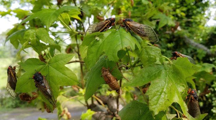 cicadas philly brood X