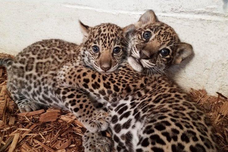 030817_jaguars_zoo