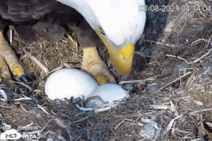 Pennsylvania Bald Eagle Eggs