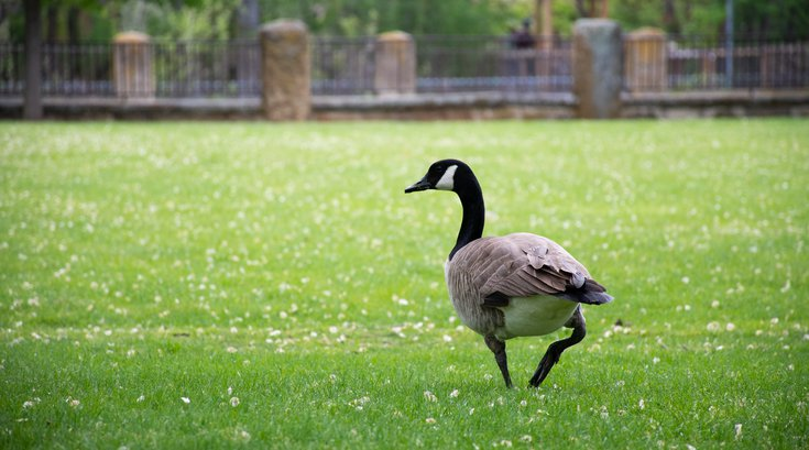Geese New Jersey