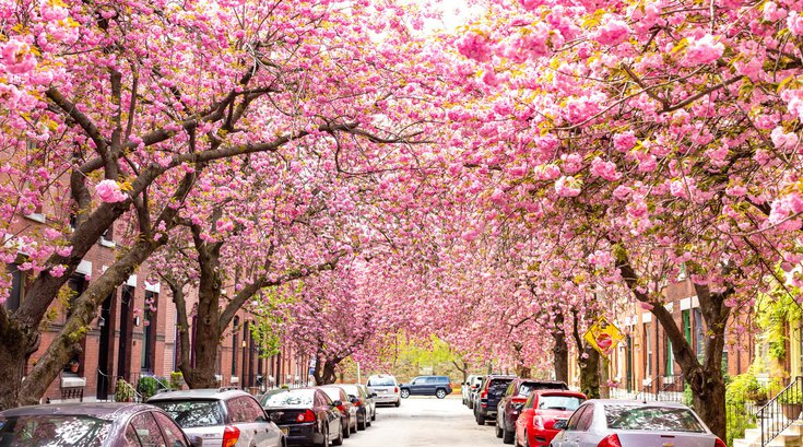 Philly Cherry Trees