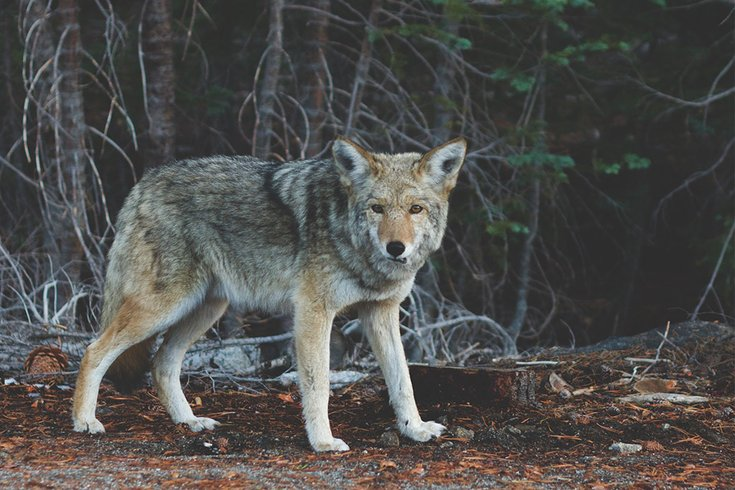 03202018_Coyote_Unsplash