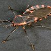 0323_Kissing Bug