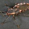 0323_Kissing Bug