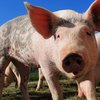 Pig Hog Farm Animals 04222019