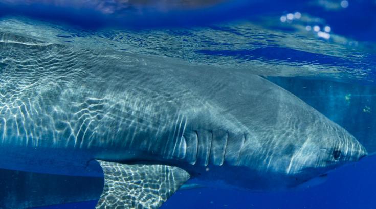 Great White Shark New Jersey