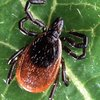 Adult Deer Tick Lyme Disease 05142019