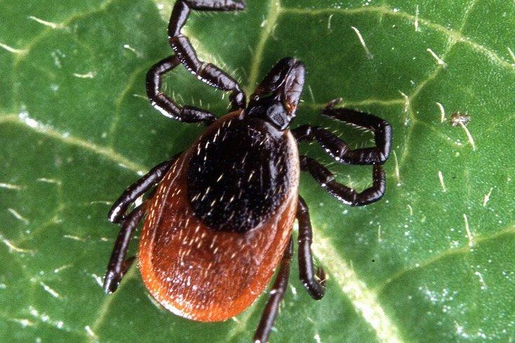 Adult Deer Tick Lyme Disease 05142019