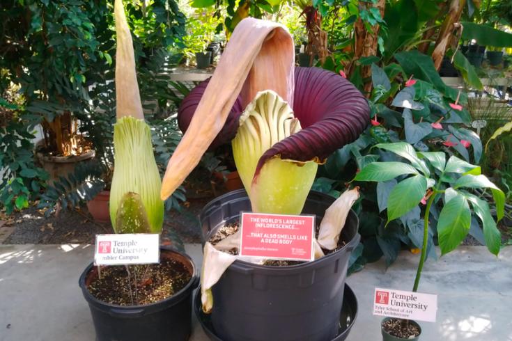 Corpse Flower Temple University
