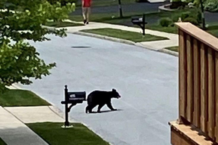 young bear chester county