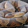 Copperhead Snake Bucks County