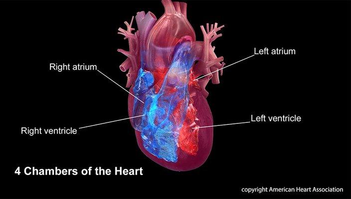 Heart Chambers AHA 07032019