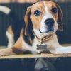 pig ear dog treat salmonella