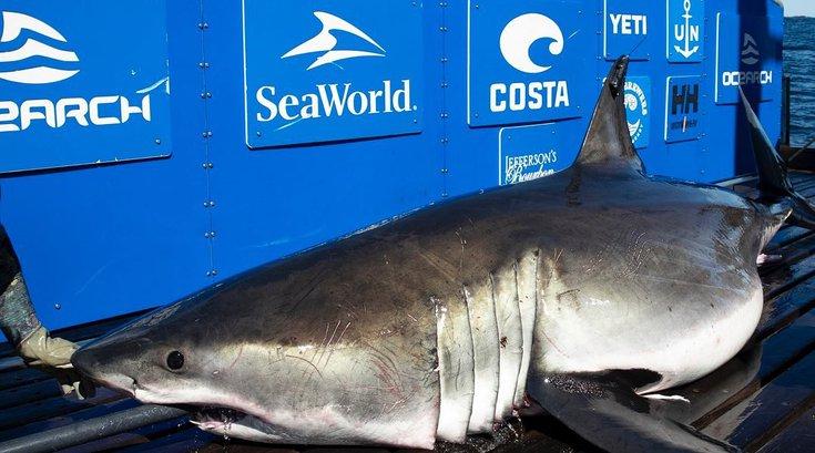 Breton Shark Week OCEARCH