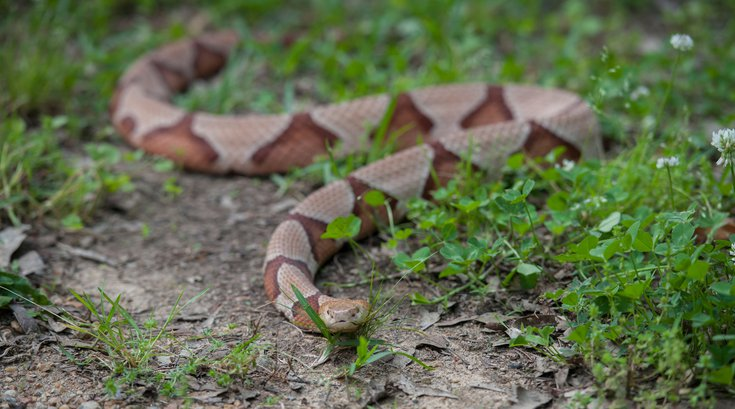 Copperhead Snake NJ