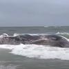 Dead whale Barnegat Light beach