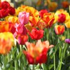 New Jersey's Holland Ridge Farms tulips