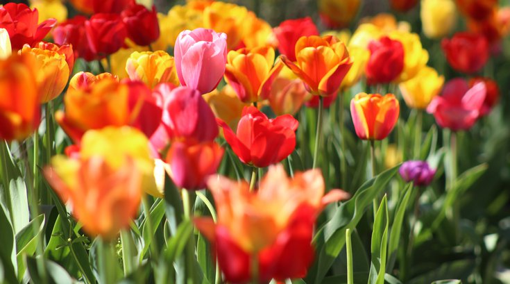 New Jersey's Holland Ridge Farms selling tulips