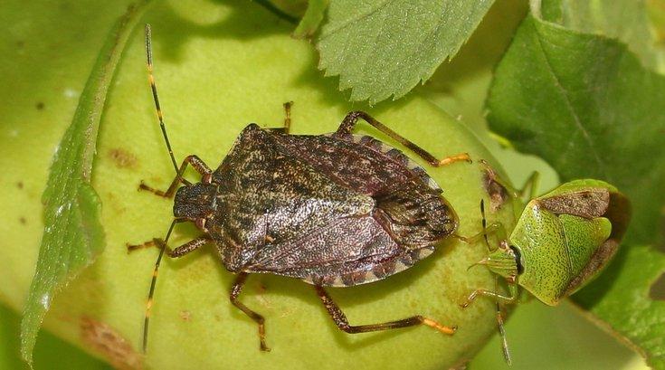 Stink bug Pennsylvania 2021