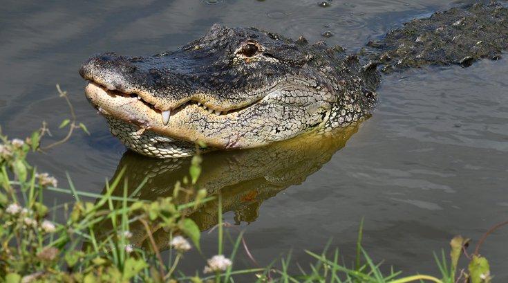 Eugene Bozzi alligator Florida