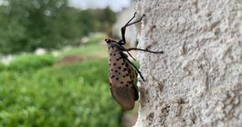 Spotted lanternfly costs Pennsylvania