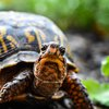 box turtles smuggler china
