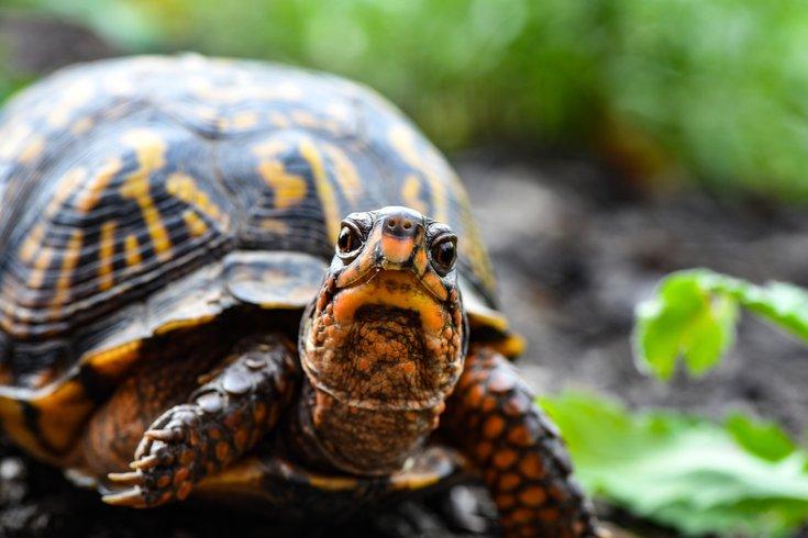 box turtles smuggler china