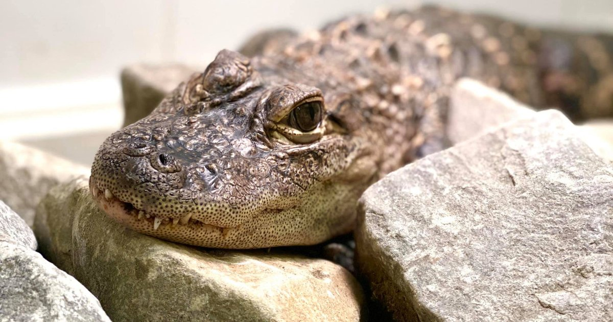 Seven alligators have been found roaming freely in the Pittsburgh area this year - EpicNews