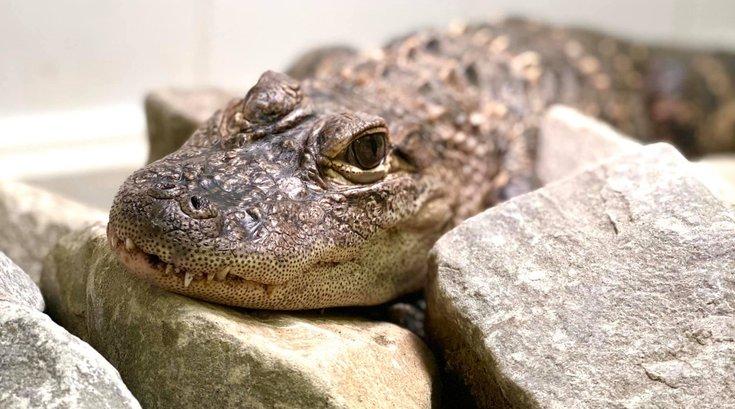 1003_pittsburgh gator