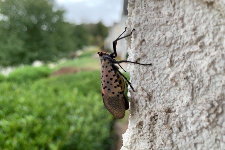 Spotted lanterfly NPR podcast