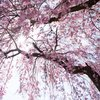 Stock_Carroll - Cherry blossoms