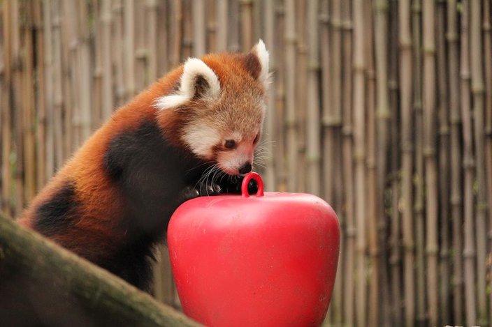 Philadelphia Zoo Announces Names Of Baby Red Pandas