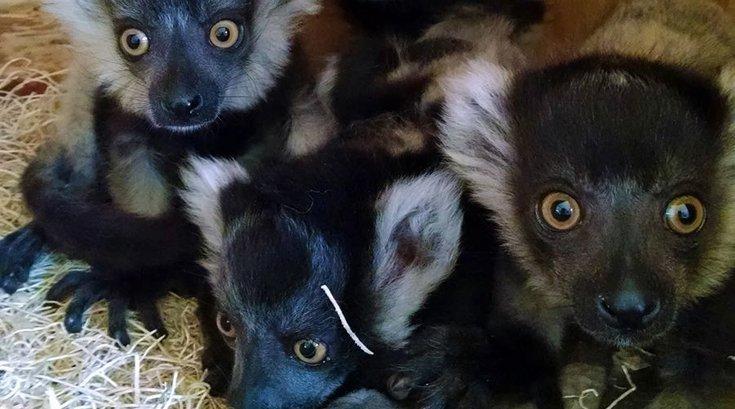 Lemurs Philly