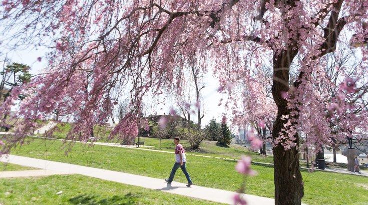 Stock_Carroll - Cherry blossoms
