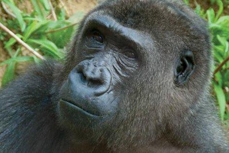041816_gorilla