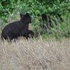 Montco Bear