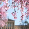 Stock_Carroll - Cherry blossoms near the Philadelphia Museum of Art
