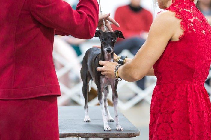 Carroll - 2017 National Dog Show in Oaks, PA