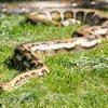 Stock_Carroll - Python snake
