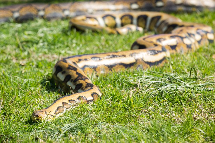 reticulated python snake – Carroll