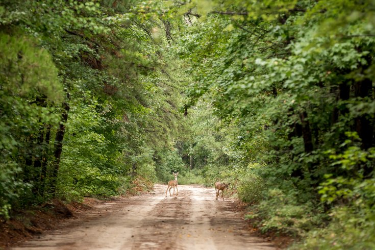 Deers on a Trail in the Pine Barrens