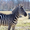 Cape May County Zebra