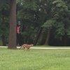Coyote sighting!