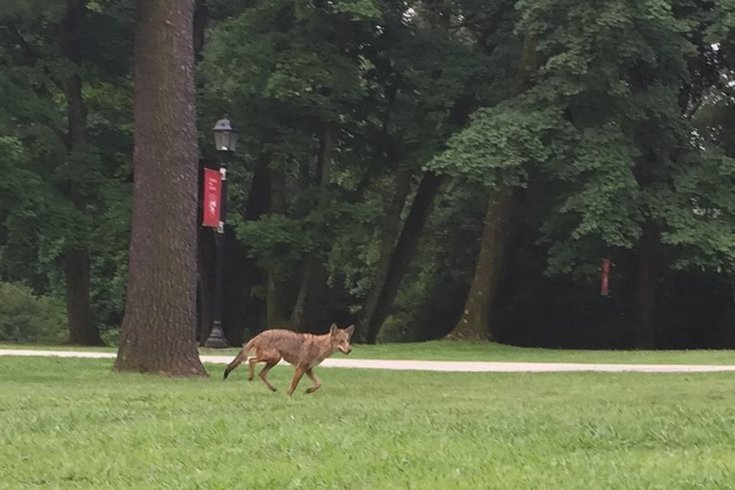 Coyote sighting!