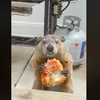 Pizza Groundhog Kimmel