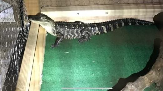 Chester County Drug Alligator