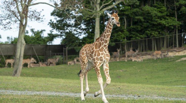 Giraffe Six Flags