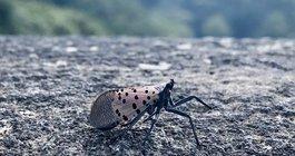 Spotted Lanternfly Predators